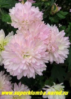 """Хризантема """"АМЕТИСТ"""".  На фото цветок в полном роспуске. На севере Подмосковья для этого сорта желательно легкое укрытие на зиму.  ЦЕНА 250 руб (1 шт)"""
