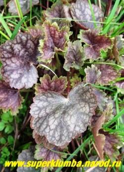 """Гейхера """"БЬЮТИ КОЛОР"""" (Heuchera """"Beauty Color"""") На фото весенняя пурпурно-фиолетовая окраска листвы. Окраска сильно зависит от сезона, В осенне-зимней период по краю листьев появляется тонкий ярко-коралловый ободок. К сожалению, в условиях Подмосковья он появляется крайне редко. ЦЕНА 250-300 руб (куст)"""