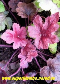 """Гейхерелла """"БРАСС ЛАНТЕРН"""" (Heucherella """"Brass lantern"""") Крупные яркие пурпурно-красные молодые листья впоследствии становящиеся кофейно-бронзовыми с более интенсивно окрашенным центром. Очень яркая и нарядная. Цветы неброские бело-розовые. НОВИНКА! ЦЕНА 300 руб (куст)"""