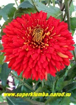 """Хризантема """"ДИПЛОМАТ"""" Цветок в полном роспуске. Высота куста 60-70см.  НЕТ В ПРОДАЖЕ"""