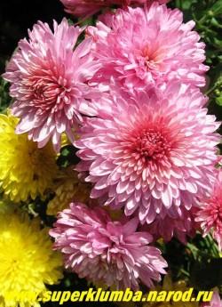 """Хризантема """"ОКИШОР"""".  Мощный куст с крупными полупомпонными густомахровыми цветами сиренево-розового цвета, диаметром 6,5 -8 см. Высота 40-50 см.  ЦЕНА  200-400 руб (1 делёнка)"""