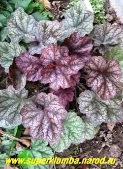 """Гейхера """" БОЖОЛЕ"""" (Heuchera """"Beaujolais"""") листья крупные, молодые от светло до винно-красного с серебристым налётом и тёмным жилкованием , старые оливковые с серебристым налетом . Гибрид H.villosa, высота 15-25 см. ЦЕНА 300-350 руб (куст) НЕТ НА ВЕСНУ"""