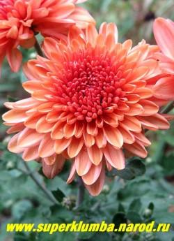 """Хризантема """"КОРАЛЛОВО-КОФЕЙНАЯ"""" . Хризантема с густомахровыми цветами меняющими цвет от кораллового  до телесно-кофейного,  диаметр цветка 6 см, цветет с августа- октябрь, высота 30-40 см.  ЦЕНА 250 руб (1 шт)"""