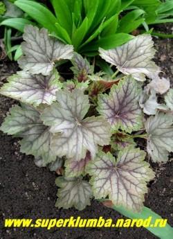 """Гейхера МЭДЖИК КОЛОР (Heuchera """"Magic color"""") молодые листья розоватые со стальным напылением и темными пурпурными венами . Взрослые листья серебристые с темным жилкованием. На фото весенняя листва. ЦЕНА 250-300 руб (куст)"""