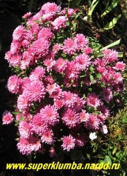 """Хризантема """"ТРИНКЛЕ ПЁПЛ""""  невысокая хризантема с густомахровыми светло-свекольными цветами, диаметром 5-6 см, цветет очень обильно с августа- октябрь, высота 30-40 см. ЦЕНА 150-250 руб (1 делёнка)"""
