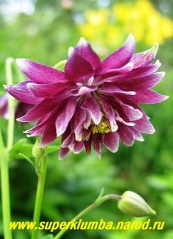 """АКВИЛЕГИЯ МАХРОВАЯ """"Нора Барлоу"""" (Aquilegia """"Nora Barlow"""") пурпурные с белыми кончиками густо -махровые цветы, цветет июнь-июль, высота 60-80 см. ЦЕНА 200 руб"""