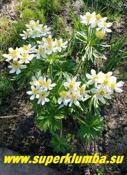 АНЕМОНА ПУЧКОВАЯ или НАРЦИССОЦВЕТКОВАЯ (Anemone fasciculata/narcissiflora) Многолетнее растение до 30-60 см высотой. Над розеткой красивых светло-зеленых опушенных пальчато-рассеченных листьев поднимаются многочисленные цветоносы, от 3 до 8, заканчивающиеся зонтиковидным соцветием из белых цветков диаметром до 2,5 см.  НЕТ В ПРОДАЖЕ.