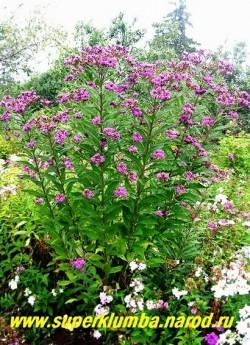 ВЕРНОНИЯ ДЛИННОВОЛОСИСТАЯ (Vernonia crinita) Большой травянистый куст до 150-200 см в высоту , цветущий в конце августа пурпурно-фиолетовыми соцветиями. Редкое и очень красивое растение. Стебли прочные, не нуждаются в подвязывании.  НЕТ В ПРОДАЖЕ