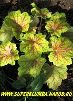 """Гейхера ЭЛЕКТРА (Heuchera """"Electra"""") листья салатового цвета, покрытые мелкой сеточкой коричнево-бордовых прожилок, осенью лист становится ярко-желтым с бордовой сеточкой. ЦЕНА 400 руб (куст) НЕТ НА ВЕСНУ"""