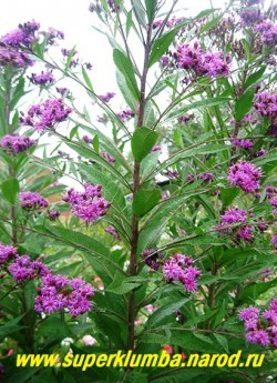ВЕРНОНИЯ ДЛИННОВОЛОСИСТАЯ (Vernonia crinita) Вернония очень красива в одиночных посадках и в сочетании с гелениумом, осенней ромашкой, солидаго. Предпочитает влажные почвы и солнечное место. НЕТ В ПРОДАЖЕ