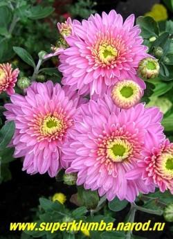 """Хризантема """"АЛЕНКА"""". Мощная хризантема с крепкими толстыми стеблями и крупными махровыми цветами ярко-розового цвета. Диаметр цветка 8 см, высота 60-70 см. Цветет сентябрь- октябрь. На зиму желательно профилактическое укрытие. НЕТ  В ПРОДАЖЕ"""