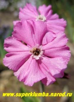 """СМОЛЕВКА ДВУДОМНАЯ """"Валлей Хай"""" (Silene dioica """"Valley High"""") цветы крупным планом. Цветы крупные 3-3,5 см в диаметре, ярко-розовые, собраны по 3-5 штук на верхушке цветоноса. НЕТ В ПРОДАЖЕ"""