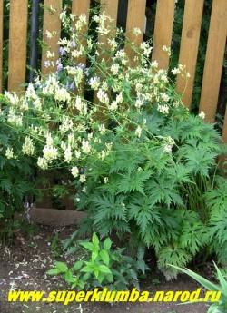 АКОНИТ ВЫСОКИЙ БЕЛЫЙ (Aconitum exelsum Album)  Куст в саду. НОВИНКА! ЦЕНА 250 руб (делёнка)