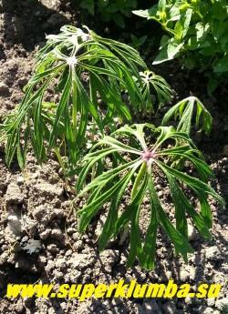 КАКАЛИЯ БОРЦОВОЛИСТНАЯ (Syneilesis/Cacalia  aconitifolia)   Множественные трубчатые цветки, розовые почти фиолетовые, появляются в июле-августе  в метельчатом соцветии на прямых, покрытых листьями цветоносах до 1,2м высотой, не очень яркие, их часто   специально срезают, чтобы направить внимание на фантастическую форму листьев.   НОВИНКА! ЦЕНА 350 руб