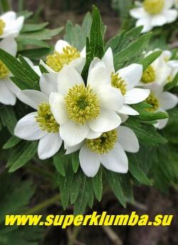 АНЕМОНА ПУЧКОВАЯ или НАРЦИССОЦВЕТКОВАЯ (Anemone fasciculata/narcissiflora)   Соцветие крупным планом. Цветет долго и обильно в конце мая-начале июня.  НЕТ В ПРОДАЖЕ.