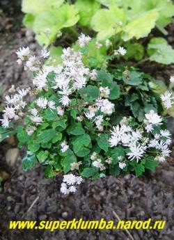 ВАСИЛИСТНИК КИУЗСКИЙ (Thalictrum kiosianum) Очаровательный низкий василистник образующий плотную кочку до 10 см в высоту, цветет светло-сиреневыми пушистыми цветками. Редкое коллекционное растение. НЕТ  В ПРОДАЖЕ