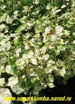 """ГОРЕЦ ЯПОНСКИЙ """"Вариегата"""" (Polygonum cuspidatum ''Variegata'') фантастически красивая расцветка листьев. От чисто- кремовых до кремовых с зелеными и малиновыми брызгами и розовыми черешками. Весной побеги коралловые. Предпочитает влажную полутень. Высота 100 см. На зиму можно легко укрыть. НЕТ В ПРОДАЖЕ"""