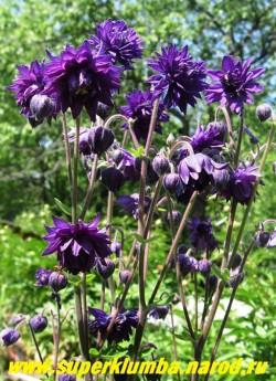 """Куст АКВИЛЕГИИ МАХРОВОЙ """"Блэк Барлоу"""" (Aquilegia """"Black Barlow"""") в моем саду. ЦЕНА 200 руб"""