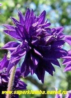 """АКВИЛЕГИЯ МАХРОВАЯ """"Блэк Барлоу"""" (Aquilegia """"Black Barlow"""") фиолетово-синие густо -махровые цветы с приподнятыми вверх головками, цветет июнь-июль, высота 60-80 см. ЦЕНА 200 руб"""