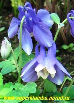 на фото цветы АКВИЛЕГИИ ВЕЕРОВИДНОЙ (Aquilegia flabellata var. pumila) крупным планом. ЦЕНА 250 руб