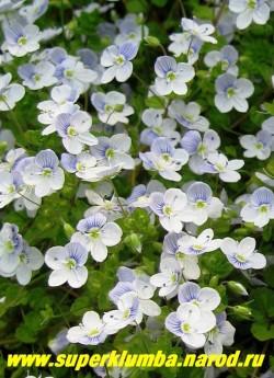 """ВЕРОНИКА НИТЕВИДНАЯ  """"голубая"""" (Veronica filiformis)  высота 5 см, цв. май-июнь , побеги нитевидные с мелкими округлыми листочками, цветет так обильно, что не видно листвы, хороша для создания ковровых массивов. ЦЕНА 150 руб (делёнка)"""