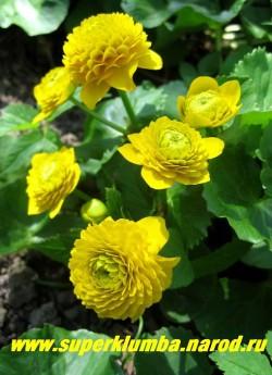 """КАЛУЖНИЦА БОЛОТНАЯ """" Флоре Плено"""" (Caltha palustris flore pleno)  садовая махровая форма , изящные кустики калужницы предпочитают влажные места , хорошо смотрятся у водоема и в тенистых уголках сада , цветет с апреля -май, высота 10-15см, диаметр густомахровых ярко-желтых цветков достигает до 5 см. Редкое по красоте весеннее растение. ЦЕНА 250 руб (делёнка)"""