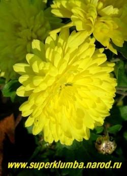 """Хризантема """"ЛИМОННАЯ"""". Цветок крупным планом . Зимостойкая , неприхотливая. ЦЕНА  150-250 руб (1 деленка)"""
