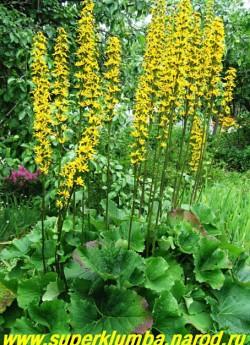 БУЗУЛЬНИК ГИБРИДНЫЙ (Ligularia Hybride)  высота до 2 м, цветение июль-август, ЦЕНА 200-250 руб (делёнка)