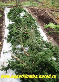 Так на зиму мы укрываем наши крупноцветковые,  хризантемы на случай бесснежной морозной зимы. Под лутрасилом желательно оставлять воздушную прослойку , прокладывая лапник или оставляя пеньки срезанных побегов хризантем достаточной высоты ( 10-15 см) для лучшей аэрации.
