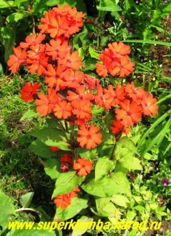 ЛИХНИС ХААГЕ (Lychnis x haageana) компактный кустик высотой 35-40см с насыщенно красными до 5 см в диаметре цветами, собраны по 3-7 в кистевидное соцветие. Цветет с конца июня 40-50 дней. Зимостоек.  НЕТ  В ПРОДАЖЕ