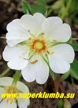 ЛАПЧАТКА БЕЛАЯ (Potentilla alba)  Цветок крупным планом. Корневище используется в лечебных целях, особено эффективна при заболеваниях щитовидной железы, а также гипертензии, желудочно-кишечных заболеваниях, как противоопухолевое и др.  ЦЕНА 250-300 руб (1 дел)