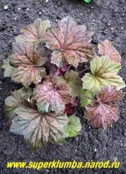 """Гейхера """"БРОУНИЗ"""" (Heuchera """"Brownies"""") Очень крупная красивая гейхера с куполообразной формой куста и большими зубчатыми опушенными матово-бронзовыми листьями с пурпурной подкладкой. Цветы белые, высота 40 см. ЦЕНА 250-300 руб (куст)"""