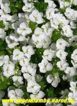 """ВЕРОНИКА НИТЕВИДНАЯ """"Альба"""" (Veronica filiformis """"alba"""") стелющиеся стебли во время цветения сплошь покрытые снежно-белыми цветами , так что не видно листвы, высота 5 см, цветет май-июнь, ЦЕНА 200 руб (делёнка)"""