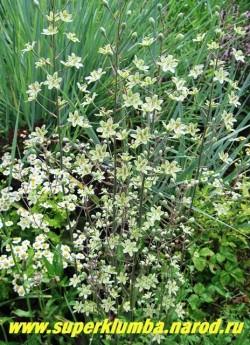 ЗИГАДЕНУС ИЗЯЩНЫЙ син. АНТИКЛЕЯ (Zigadenus = Anticlea elegans) Линейные жесткие листья с сизым налетом собраны в прикорневые пучки высотой до 60см, Цветки многочисленые желто- зеленоватой окраски собраны в метельчатые соцветия на высоких, до 100см в высоту, безлистных цветоносах. НОВИНКА! ЦЕНА 300 руб