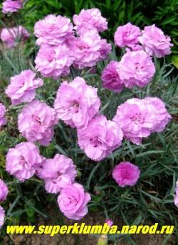 """ГВОЗДИКА АЛЬВУДА """"Дорис"""" (Dianthus allwoodii """"Doris"""") розовые махровые цветки с ярко-красным пятном в центре, срезочная, очень душистая, высота до 30 см, цв. июнь-июль, ЦЕНА 200-250 руб  (1 делёнка)"""