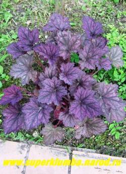 """Гейхера """"ФРОСТЕД ВАЙОЛЕТ"""" (Heuchera """"Frosted Violet"""") Крупная гейхера с большими бархатистыми, слегка опушенными, насыщенно-фиолетовыми листьями с серебряными разводами, цветы кремовые, высота до 37 см.  ЦЕНА 250-350 руб (куст)"""