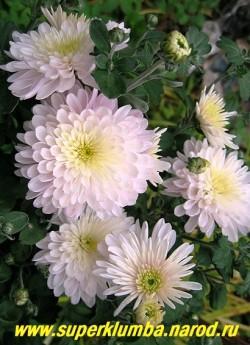 """Хризантема """"ЯБЛОНЕВЫЙ ЦВЕТ"""" Мощная хризантема с крепкими толстыми стеблями и с крупными махровыми белыми с розовым оттенком цветами . Диаметр цветка 8 см, высота 50-60 см. Цветет сентябрь-октябрь.НЕТ В ПРОДАЖЕ"""
