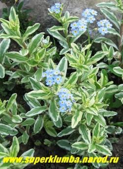 """НЕЗАБУДКА БОЛОТНАЯ """"Вариегата"""" (Myosotis palustris """"Variegata"""") Незабудка с красивой вариегатной бело-зеленой листвой . Цветет голубыми цветами с мая до осени, высота до 25 см, любит влажную почву, поэтому хорошо подойдет для обсадки декоративных водоемов. НЕТ В ПРОДАЖЕ"""