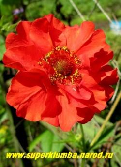 """ГРАВИЛАТ ГИБРИДНЫЙ """"Блейзинг сансет"""" (Geum x hybridum """"Blazing Sunset"""")  гравилат с крупными махровыми красными цветами до 6 см в диаметре, собранными в рыхлые соцветия. Цветет обильно и продолжительно с июня по сентябрь. Высота 20-30см.    НЕТ В  ПРОДАЖЕ"""