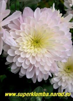 """Хризантема """"ЯБЛОНЕВЫЙ ЦВЕТ"""" Цветок крупным планом. На зиму желательно профилактическое укрытие на случай бесснежной морозной зимы. НЕТ В ПРОДАЖЕ"""