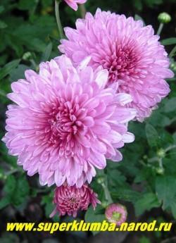 """Хризантема """"ОКИШОР"""". Цветы крупным планом. Зимостойка, но профилактическое укрытие не повредит. ЦЕНА  200-400 руб (1 делёнка)"""