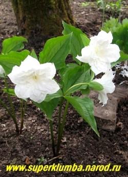 ТРИЛЛИУМ КРУПНОЦВЕТКОВЫЙ «Snoebunting» (Trillium grandiflorum «Snoebunting») очень красивая махровая форма триллиума. Снежно -белые позже розовеющие густомахровые цветы диаметром 7- 8 см, расположенные над собранными по три в мутовку листьями. Высота до 45 см. НОВИНКА! ЦЕНА 1500 руб (1 взрослое цветущее растение)