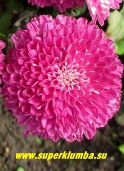 """Хризантема """"МАЛИНОВАЯ ПОМПОННАЯ"""".  Цветок крупным планом. НЕТ  В ПРОДАЖЕ"""