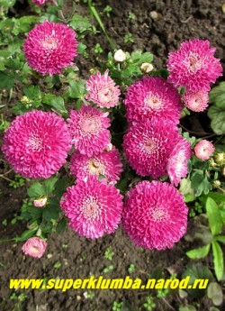 """Хризантема """"МАЛИНОВАЯ ПОМПОННАЯ"""".  Низкая хризантема  с крупными малиново-розовыми   цветами помпонной формы,   диаметр цветка 6 см, высота куста 20-30см, цветет август-октябрь.   НЕТ  В ПРОДАЖЕ"""