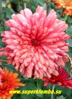 """Хризантема """"КУРОЧКА РЯБА"""".  Цветок в начале роспуска  кораллово-розовый,  затем в окраске начинают преобладать рыжие оттенки.    ЦЕНА 150-250 руб (1 деленка)"""