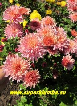 """Хризантема """"РОЗОВО-КРЕМОВАЯ"""". Густомахровые крупные сиренево-розовые впоследствии приобретающие кремовый оттенок цветы с удлиненными лепестками , диаметр цветка 7-8 см, высота 50-60 см, цветет август-октябрь. ЦЕНА  200-400 руб (1 делёнка)"""