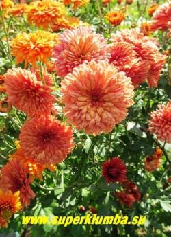 """Хризантема """"КУРОЧКА РЯБА""""  Хризантема с махровыми цветами кирпично-кораллового цвета, диаметр цветка 4,5-5 см, цветет с августа- октябрь, высота 50-60 см, ЦЕНА 150-250 руб (1 деленка)"""