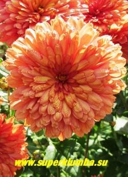 """Хризантема """"КУРОЧКА РЯБА"""".  Цветок  в  полном роспуске. Неприхотливая и зимостойкая. ЦЕНА 150-250 руб (1 деленка)"""