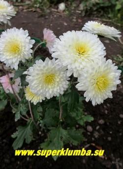 """Хризантема """"СНЕЖОК"""". Белая махровая, диаметр цветка 5-6 см, распускаясь цветы слегка розовеют, высота до 60 см, цветет август-сентябрь. Зимостойкая, очень неприхотливая. НЕТ В ПРОДАЖЕ"""