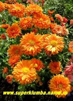 """Хризантема """"МЕДАЛЬОН"""".  Мощная хризантема с крупными ярко-оранжевыми 8 см в диаметре махровыми цветами. Высота 60-70 см. Цветет сетнябрь-октябрь. На зиму желательно профилактическое укрытие. ( на случай бесснежных морозов зимой)  НЕТ В ПРОДАЖЕ"""